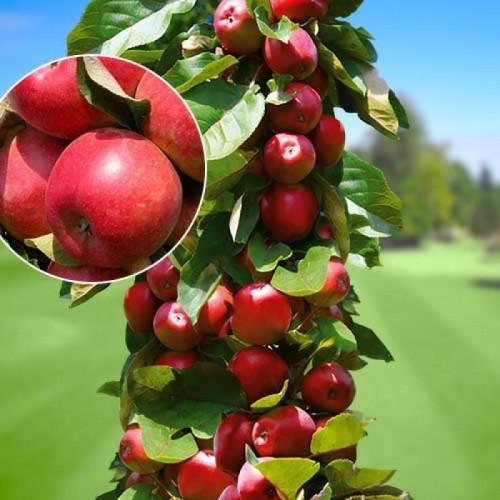 Колоновидная яблоня «ТРАЙДЕНТ»