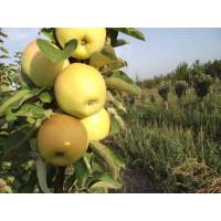Яблоня колоновидная Сладкий Викич