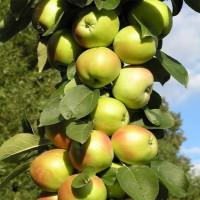 Колоновидная яблоня «Президент»