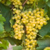 Виноград «Мускат Летний»