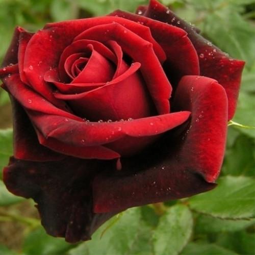 Роза кустовая «Элегия»