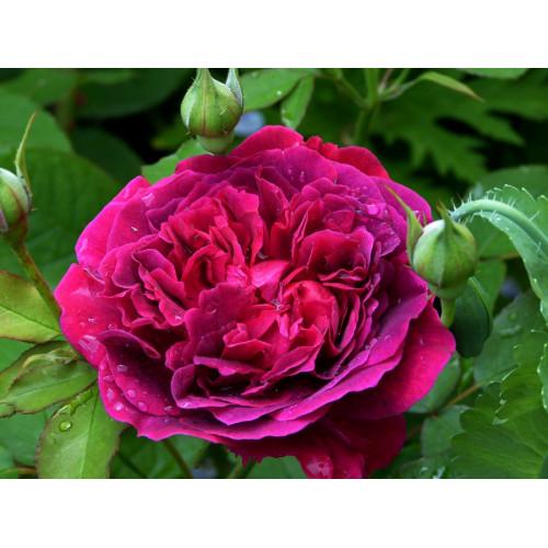 Роза английская «Вильям Шекспир»