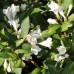 Вейгела цветущая Блек энд Уайт